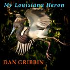 My Louisiana Heron